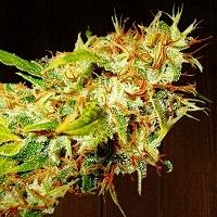 Zamaldelica Feminised Cannabis Seeds | Ace Seeds