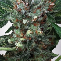 Zensation Feminised Cannabis Seeds | Ministry of Cannabis