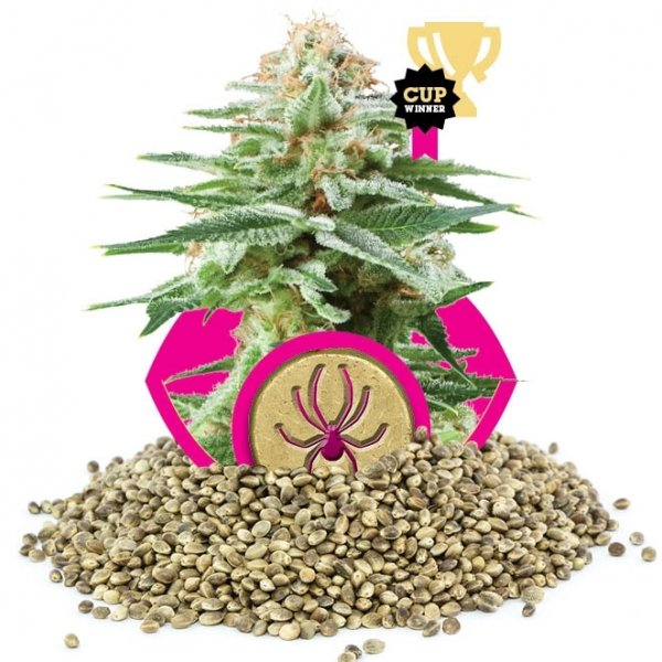 5 Best White Widow Seeds | Discount Cannabis Seeds